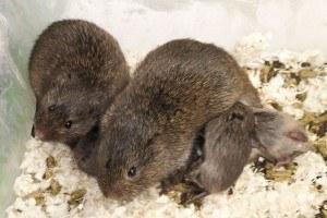 Prairie vole parents and pups